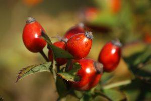 Rosa rubiginosa Weinrose Wildobst Hecke