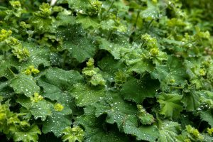 Heilpflanze Bodendecker Schattenstaude