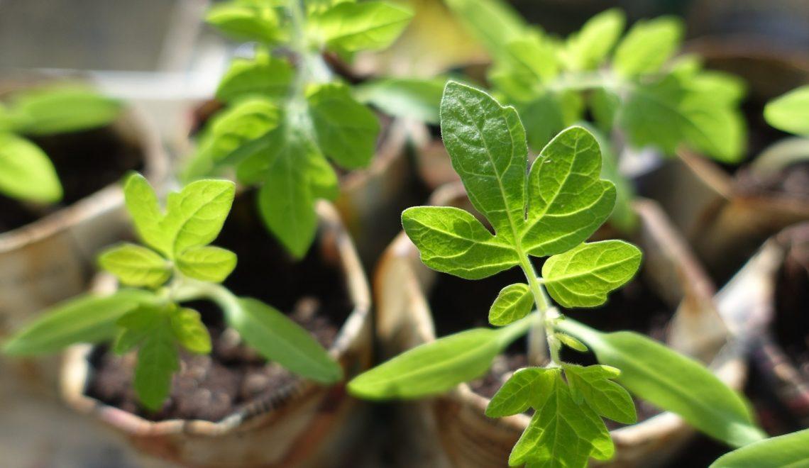 Sämling Gemüse Zimmergewächshaus Anbau Aussaat Vorziehen