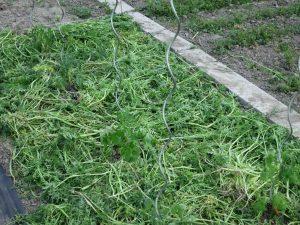 Gemüsegarten Permakultur Paradeiser Bienenfreund