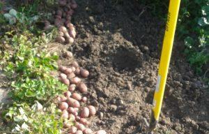 Erdäpfel ausgraben Gemüse Garten