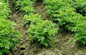 Erdäpfel anhäufeln Gemüse Garten