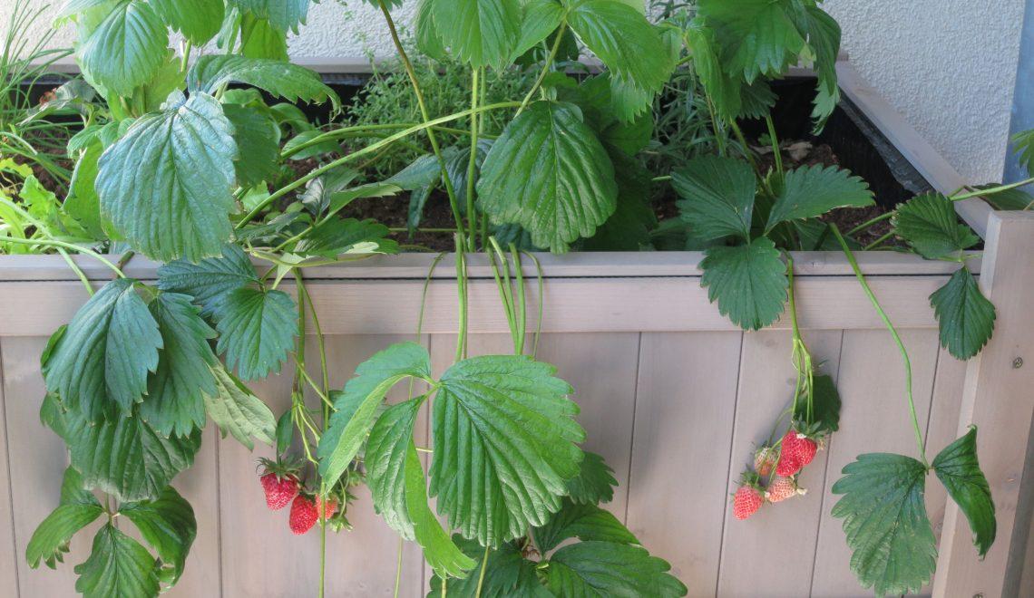 Erdbeeren durch Ableger vermehren