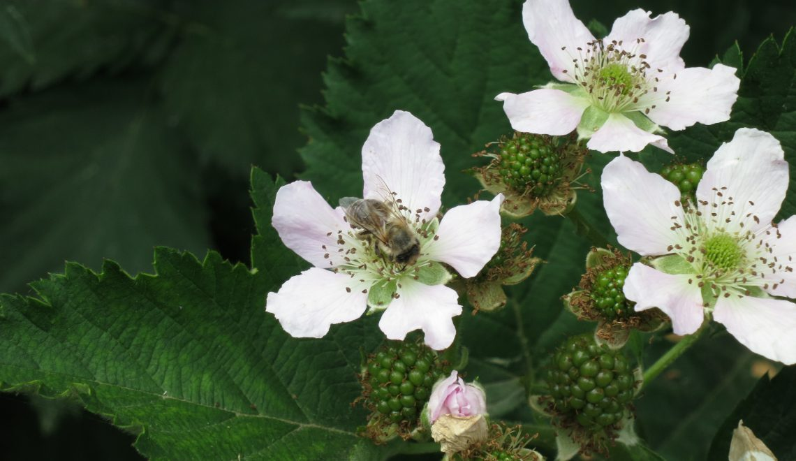 Brombeer Blüte Nützling Honig Ernte Beute Zarge