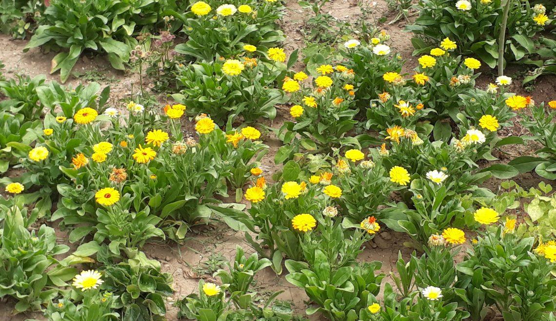 Sommerblumen als Lückenfüller