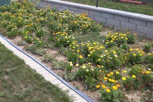 Stauden Sommerblumen Ringelblumen Garten Unkraut