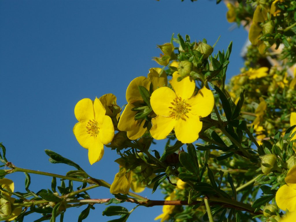 Fünffingerstrauch Spätblüher Gehölz gelb