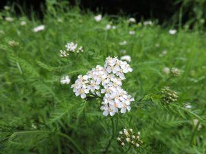 Schafgarbe Heilpflanze Staude Spätblüher