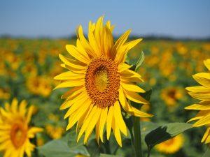 Sonnenblume Sommerblume Spätblüher gelb