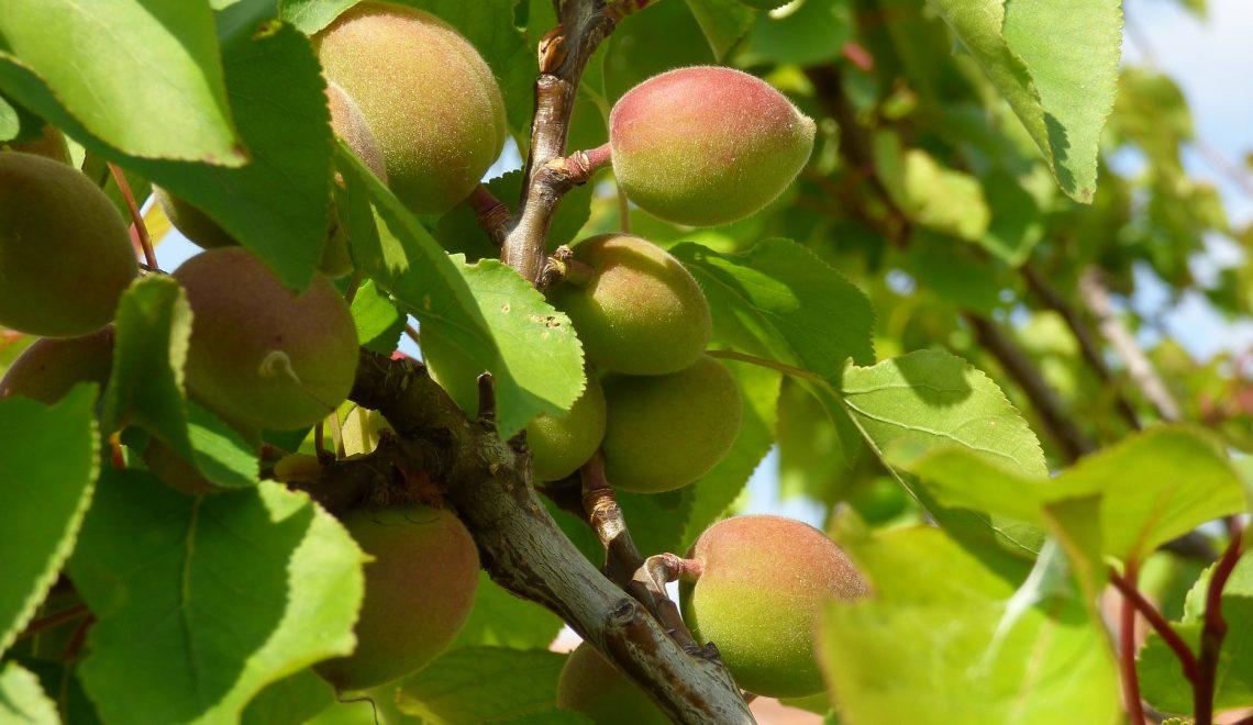 Spalier Obstbaum Aprikose Schnitt