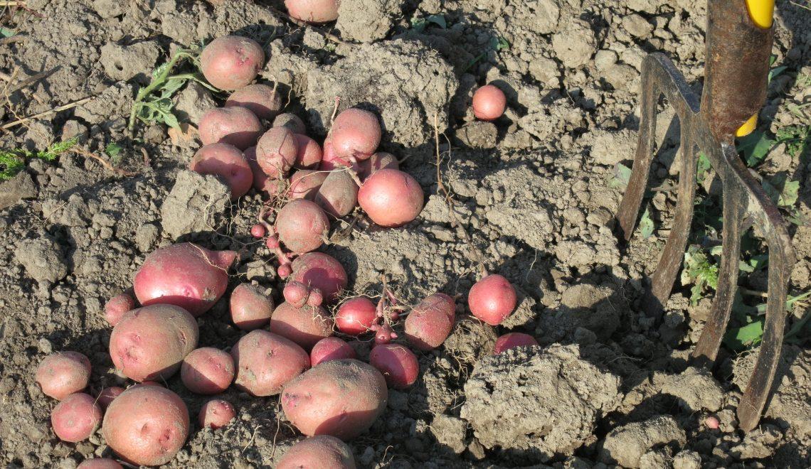Erdäpfel Spätkartoffeln ausgraben lagern