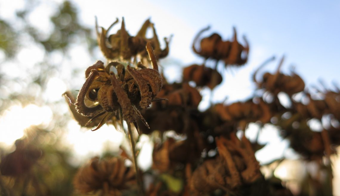 Samen von den Ringelblumen nehmen