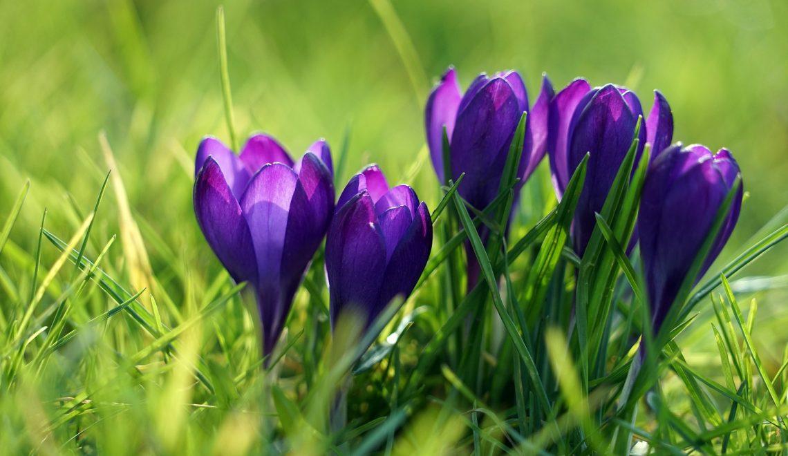 Blumenzwiebeln für den Rasen