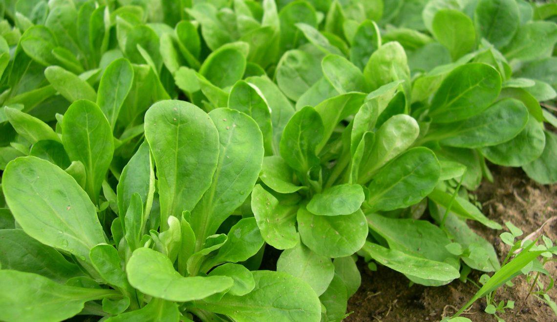 Vogerlsalat im winterlichen Gemüsegarten