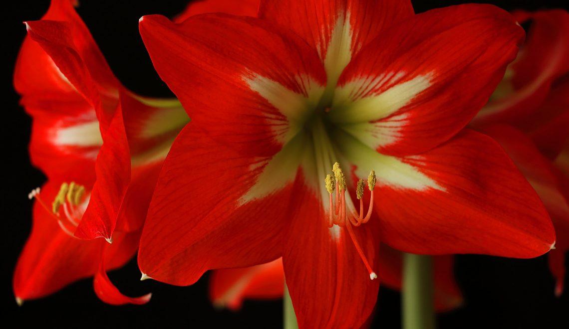 Hippeastrum Ritterstern Zimmerpflanze Blumenzwiebeln Topf Anzucht Vermehrung