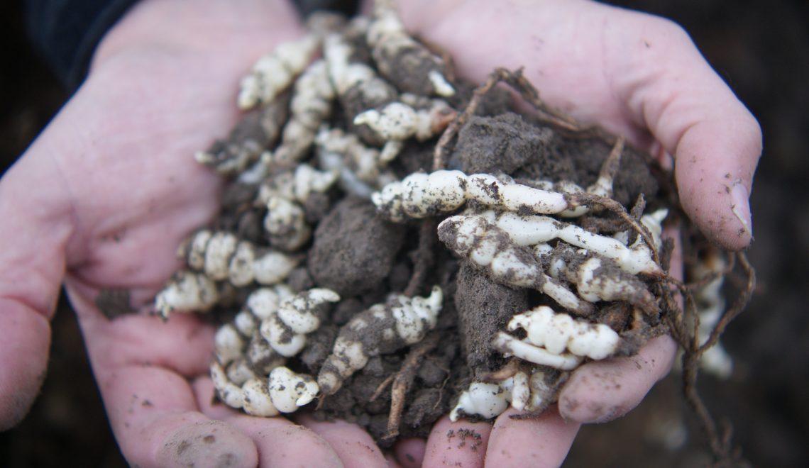 Vergessenes Gemüse: Knollenziest