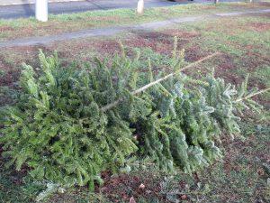 Weihnachtsbaum Tanne Fichte Reisig