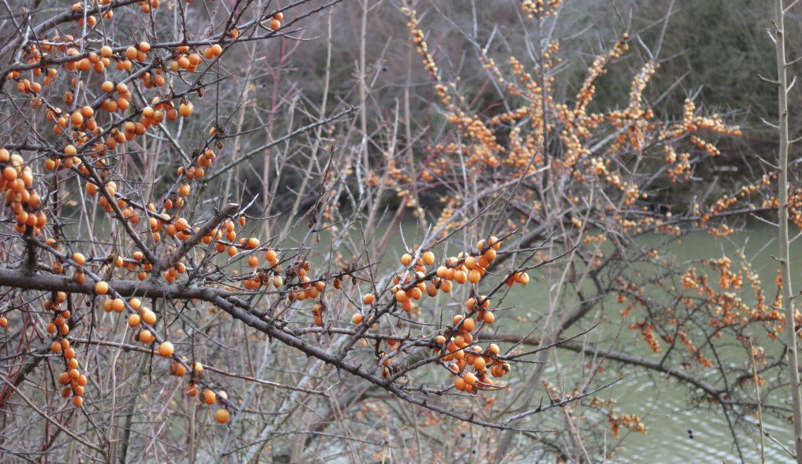 Hippophae rhamnoides Wildobst Vitamin C gesund Früchte Superfood