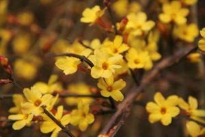 Jasminum nudiflorum Winterblüher Strauch Kletterpflanze