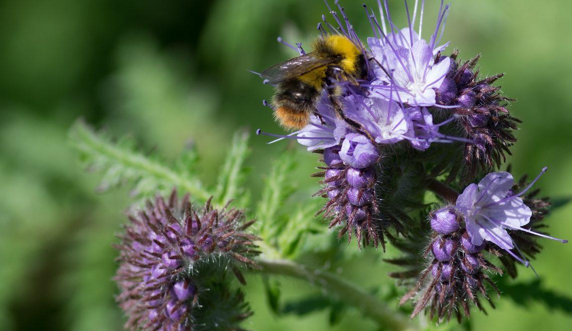 Bienenfreund Gründüngung Brache Unkraut Mulchen Gemüsegarten Beet Permakultur