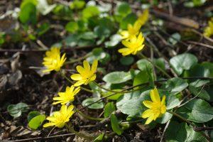 Ficaria verna Ranunculus Hahnenfußgewächs Heilpflanze Vitamin C Frühjahrsmüdigkeit Salat
