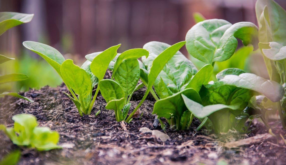 Garten Gemüsebeet Anbau Aussaat Ernte gesund Rezept