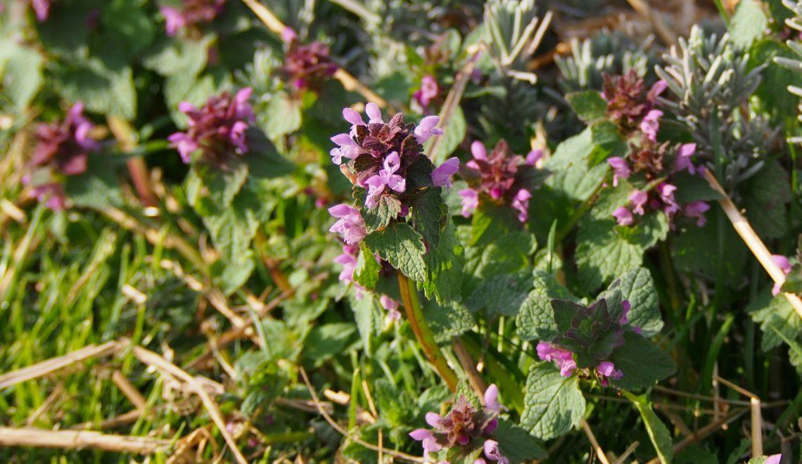 Lamium purpureum Unkraut Beikraut Heilpflanze Garten Gemüsebeet Jäten Insekten Hummeln