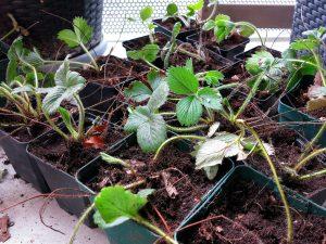 Balkon Ableger Pflanzen