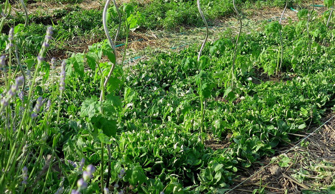 Paradeiser Feldsalat Mulchen Unkraut Gemüsebeet Aussaat Stäben Ausgeizen Mischkultur