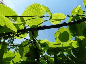 Aristolochia macrophylla Kletterpflanze Fassadenbegrünung Fassadengrün Schlingpflanze Wand Mauer Schatten Rankgerüst Spalier Gitter