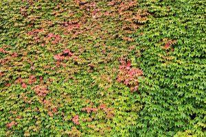 Wilder Wein Vitis Kletterpflanze Fassadenbegrünung Fassadengrün Schlingpflanze Wand Mauer Schatten Rankgerüst Spalier Gitter
