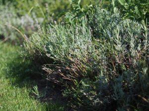 Lavendel Garten Gemüsebeet Gewürz Rezept Schmetterlinge Insekten schneiden kürzen