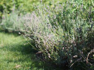 Garten Gemüsebeet Gewürz Rezept Schmetterlinge Insekten schneiden kürzen