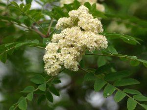 Eberesche Sorbus aucuparia Früchte Blüte Wildvögel Tiere Nahrung Schmetterlinge Bienen Marmelade Schnaps
