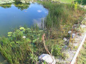 Pflanzen schneiden Schnitt Wasser Algen Herbst Winter Garten Binsen Seerosen
