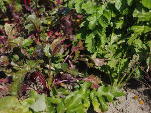 Rote Bete Wintergemüse Garten Oktober Beet Anbau Aussaat