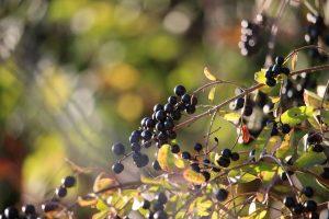 Strauch Böschung Hecke giftig Beeren