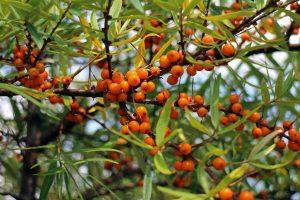 Hecke Böschung Wildobst Garten Marmelade Saft Strauch