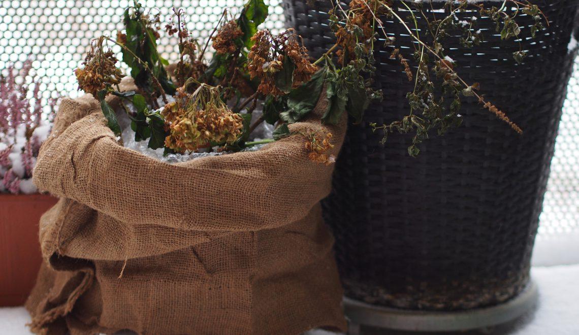 Hydrangea Kübelpflanze überwintern draußen Balkon Garten Schnee Jutesack Luftpolsterfolie Styropor schneiden Schnitt frieren Frost einpacken Vlies
