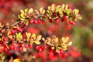 Berberis vulgaris Wildgehölze Wildobst Sträucher pflanzen Garten Lehm Früchte Blüten Dornen