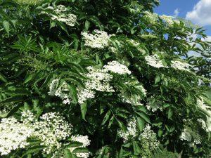 Sambucus nigra Wildgehölz Sträucher Lehm schwerer Boden pflanzen Garten Holler Blüten Beeren Früchte
