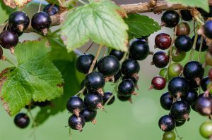 Ribes nigrum Ribisel Wildgehölze Wildobst Beeren Garten Sträucher Lehm