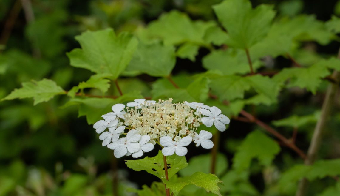 Viburnum opulus Blüten Beeren Wildgehölze Sträucher pflanzen Lehm Garten