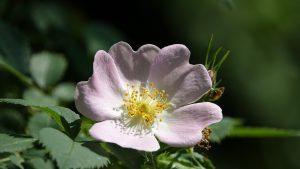 Rosa rubiginosa Wildgehölze Wildrose Sträucher Lehm Garten Blüten Hagebutten