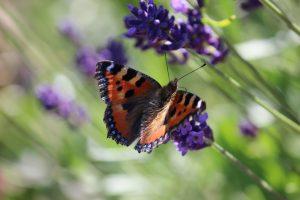 Kräuterbeet Garten Thymian Oregano Rosmarin Schmetterlinge Bienen Nektar Blüten