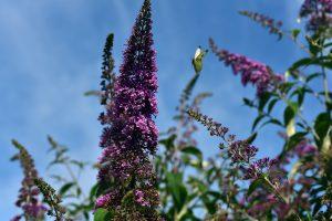 Buddleja davidii Schmetterlingsflieder Schmetterlinge Bienen Insekten Nektarpflanze Garten Strauch lila