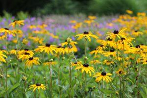 Rudbeckia fulgida Schmetterling Bienen Spätblüher Blüten gelb Herbst Garten
