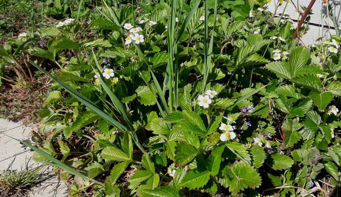 Beier Baier Unkraut jäten Bodendecker Gras Gräser Acker Feld Garten Blumenbeet