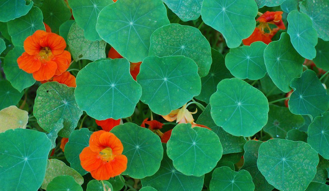 Tropaeolum majus Kletterpflanze Gemüsegarten Heilkraut Rankhilfe Salat Kräuterbutter Gewürz Blattläuse