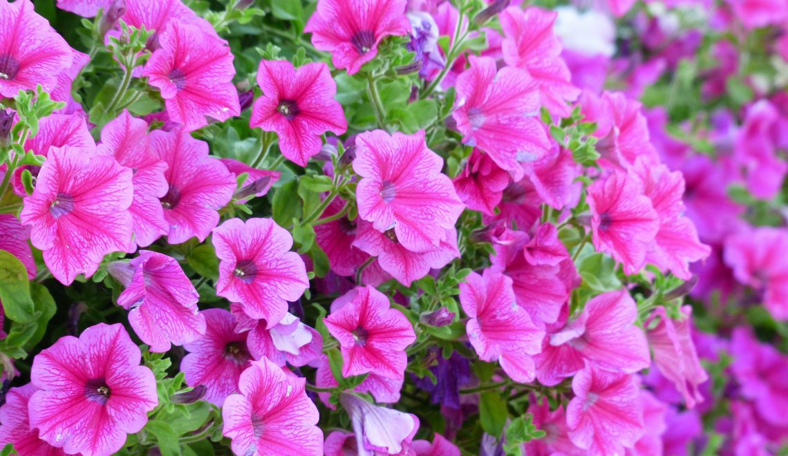 Petunie Surfinia Balkonblumen Hängepflanzen Beschattung Balkonkistchen Wohnung Ranken Blüten